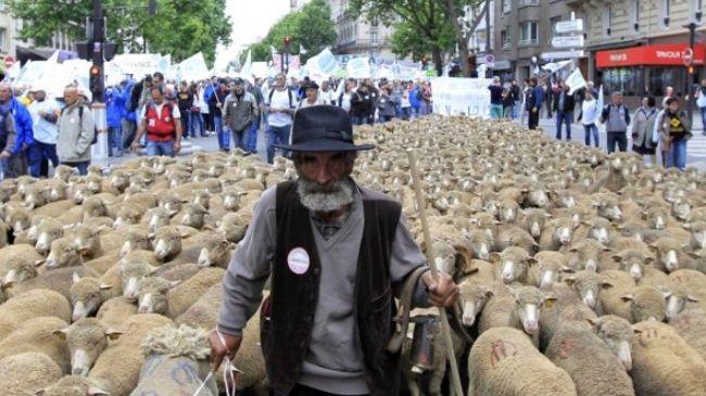 329041_French-farmer-sheep