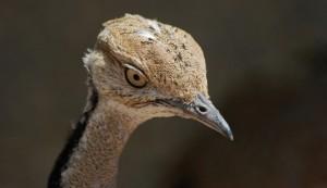 Saudi prince hunted over 2,000 endangered houbara bustards