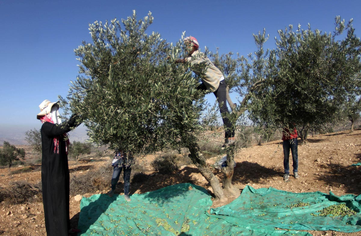 Olive Harvest in Nablus, West Bank