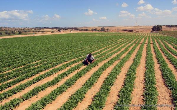 palestinian-farmer-spinach-crop
