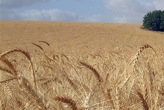Photo of Iran to export wheat to 3 Arab states