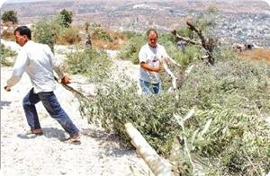 Photo of Zionist settlers destroy dozens of olive trees south of Nablus