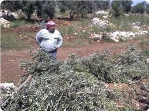 Jewish settlers chop down 40 olive trees, assault houses