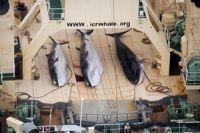 Photo of Japanese whaling not for scientific purpose: World Court
