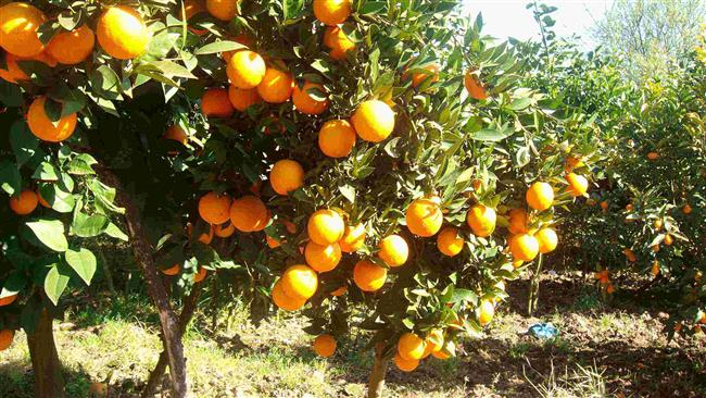 Photo of Nuclear accord tastes sweet for Iran citrus