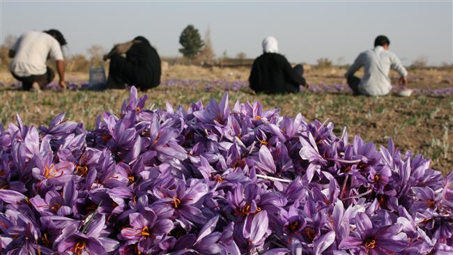 Photo of Iran establishes saffron bank
