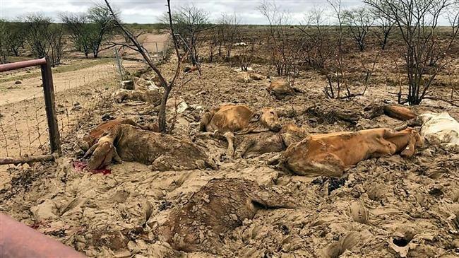 Photo of Australia floods kill hundreds of thousands of cattle