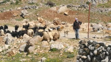 Photo of Lebanese shepherd Escapes Attempted Kidnapping by Zionist Army of Gangsters at Border